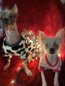"Photo of two Chinese Crested puppies, Sir Punk Nugget and Cleopatra ""Cleo."""