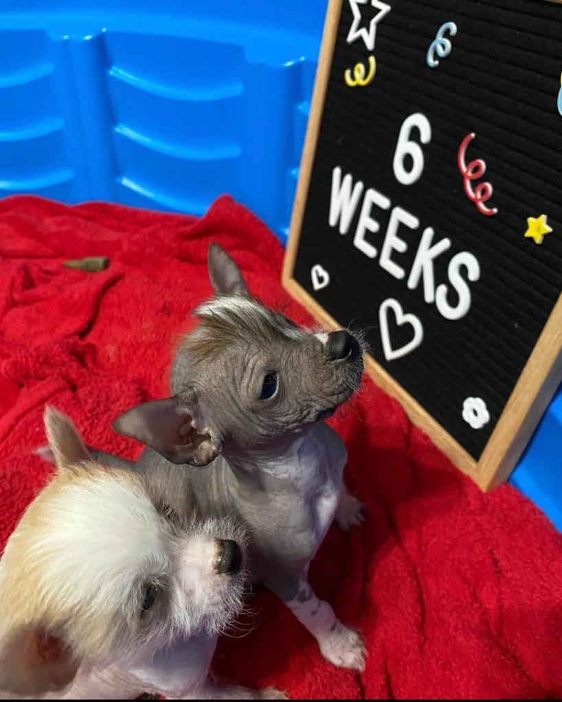 Photo of two Chinese Crested puppies at 6 weeks old.